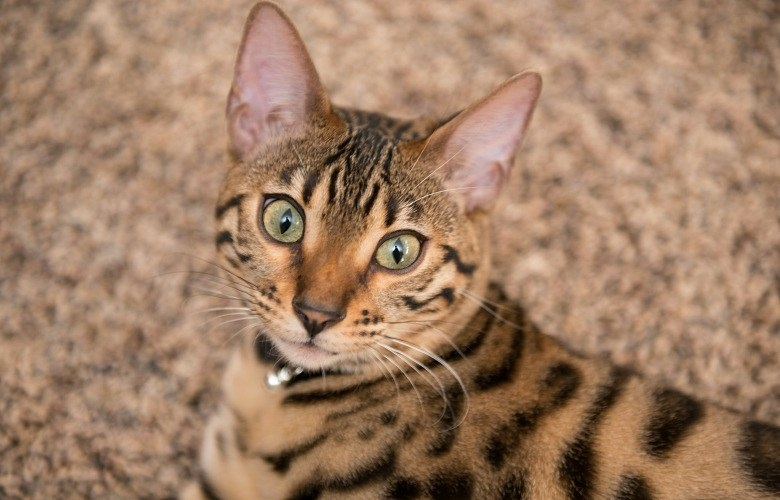 Bengal Cats and their Personality