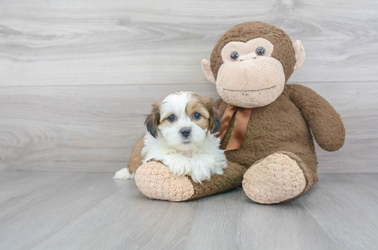 Attributes of a Morkie Puppy: Is it Going To Be Suitable for You?