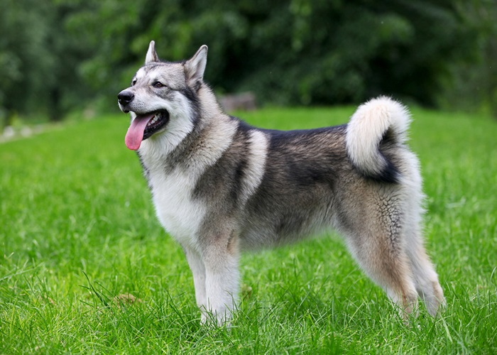 The Right Quality Of the Alaskan Malamute for Your Choices