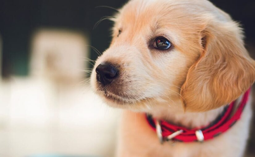 Buy An Adorable Puppy For You
