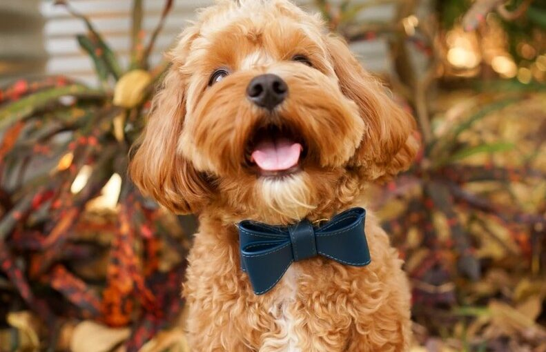 Tips to choose dog bow ties at affordable prices